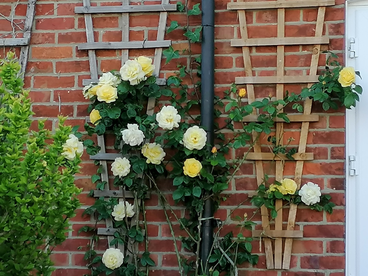 Climbing roses in England